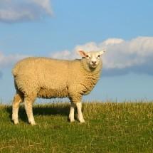 英語のヒツジ(羊)に関するイメージと羊を使ったことわざ・慣用句