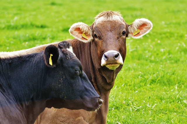 cow-983048_640