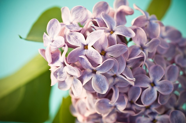 lilac-1392707_640