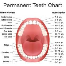 英語で表現する「歯の種類」前歯・奥歯・歯ぐき・虫歯の英語名