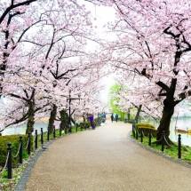 「桜」「お花見」は英語でどう言う?