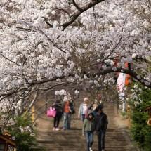 英語でどう言う?「桜」「お花見」「三分咲き」